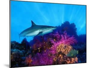 Caribbean Reef Shark and Soft Corals in the Ocean