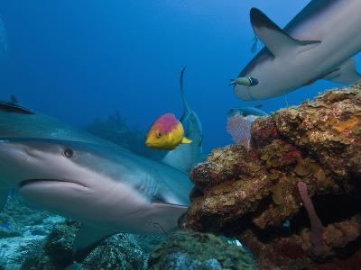 Caribbean Reef Shark (Carcharhinus Perezii) and Coral Reef Fish, Roatan, Bay Islands, Honduras-Antonio Busiello-Photographic Print