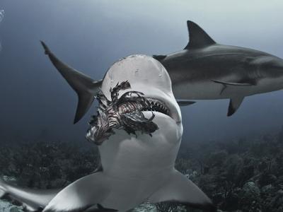 https://imgc.artprintimages.com/img/print/caribbean-reef-shark-carcharhinus-perezii-eating-lionfish-pterois-volitans-roatan-honduras_u-l-phcmxd0.jpg?p=0