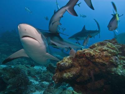 https://imgc.artprintimages.com/img/print/caribbean-reef-shark-carcharhinus-perezii-roatan-bay-islands-honduras-caribbean_u-l-phdlfu0.jpg?p=0