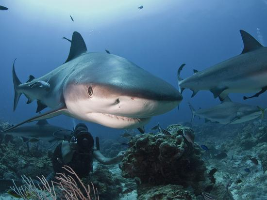 Caribbean Reef Shark (Carcharhinus Perezii) Swimming with Diver, Roatan, Bay Islands, Honduras-Antonio Busiello-Photographic Print
