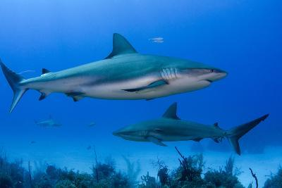 Caribbean Reef Shark, Jardines De La Reina National Park, Cuba-Pete Oxford-Photographic Print