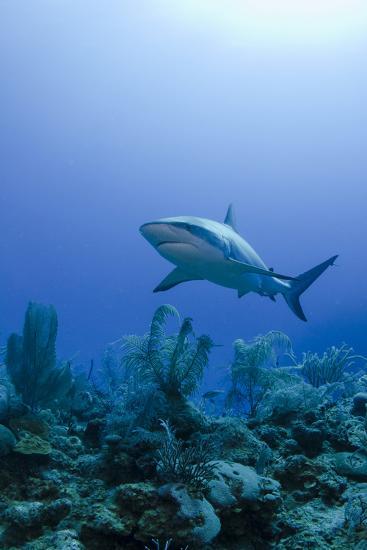 Caribbean Reef Shark, Jardines De La Reina National Park-Pete Oxford-Photographic Print