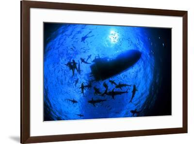 Caribbean reef sharks, Carcharhinus perezi, surround a boat at the surface.-David Doubilet-Framed Photographic Print