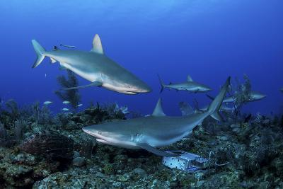 Caribbean Reef Sharks Swimming Along the Reef Off of Cuba-Stocktrek Images-Photographic Print