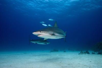 Caribbean Reef Sharks-James R.D. Scott-Photographic Print