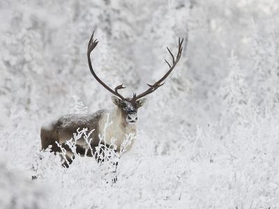 Caribou, Finger Mountain, Alaska, USA-Hugh Rose-Photographic Print