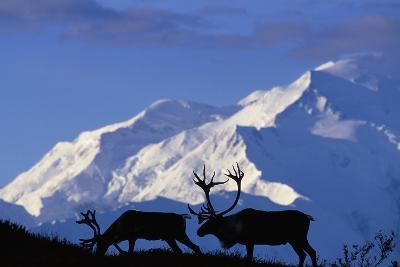 Caribou Grazing Near Wonder Lake Below Mt. Mckinley--Photographic Print