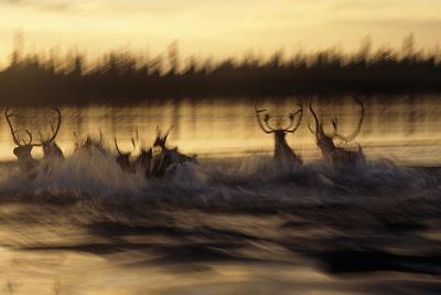 Caribou Herd Running across Kobuk River at Sunset Blurred Arctic Alaska Kobuk Valley-Design Pics Inc-Photographic Print
