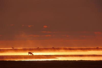 Caribou on Tundra Rising Fog Sunset Summer Arctic Alaska-Design Pics Inc-Photographic Print