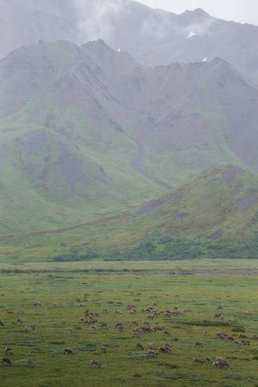Caribou, Rangifer Tarandus, Graze in Denali National Park-Erika Skogg-Photographic Print