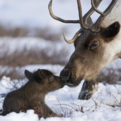 Caribou (Rangifer Tarandus) Mother and Calf Nuzzling, Kamchatka, Russia-Sergey Gorshkov/Minden Pictures-Photographic Print