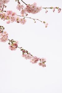 Blossom Buds by Carina Okula