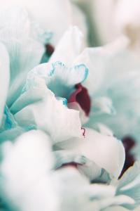 Paris Petals 2 by Carina Okula