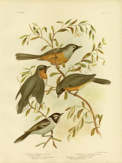 Carinated Flycatcher or Black-Faced Monarch, 1891-Gracius Broinowski-Giclee Print