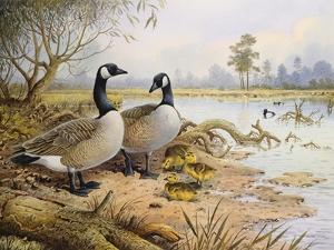 Geese: Canada by Carl Donner