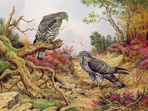Honey Buzzards by Carl Donner