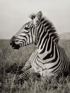 A Burchell's Zebra at Rest in the African Terrain by Carl E. Akeley