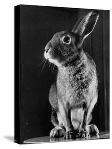 Horace the Irish Hare by Carl Mydans