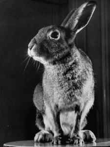 Horace the Irish Hare by Carl Mydans