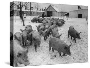 Pigs Being Herded to the Weighing Scales on a State Farm by Carl Mydans