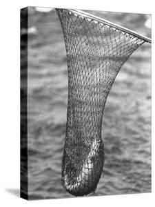 Trout Caught in a Net by Carl Mydans