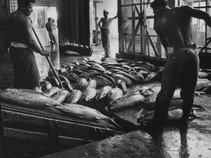 Tuna Being Unloaded from Boats at Van Camp Tuna Co. Cannery in American Samoa by Carl Mydans