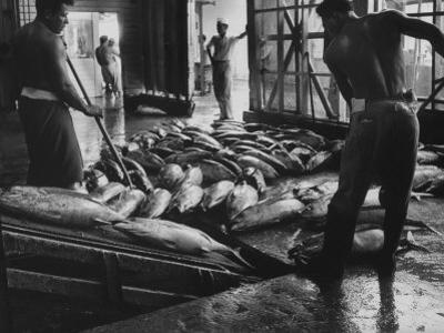 Tuna Being Unloaded from Boats at Van Camp Tuna Co. Cannery in American Samoa
