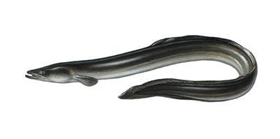 Illustration, European Eel, Anguilla Anguilla, Not Freely for Book-Industry, Series by Carl-Werner Schmidt-Luchs