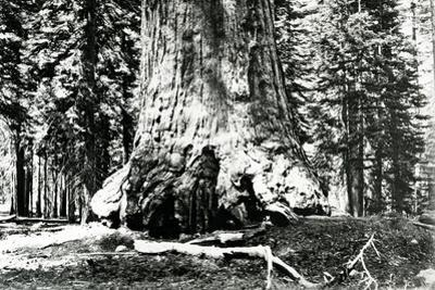 Base of the Grizzly Giant, C.1860s by Carleton Emmons Watkins