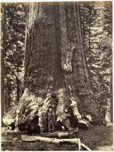 Base of the Grizzly Giant by Carleton Emmons Watkins