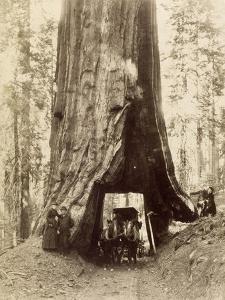 Route creusée dans le tronc d'un séquoia géant,forêt de Mariposa,Californie (Wawona,28 feet by Carleton Emmons Watkins