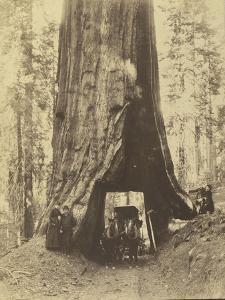 Route creusée dans le tronc d'un sequoia géant , Forêt de Mariposa, Californie by Carleton Emmons Watkins
