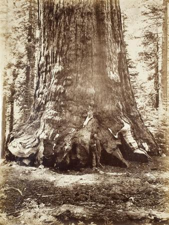 Section of the Grizzly Giant with Galen Clark, Mariposa Grove, Yosemite, 1865-66