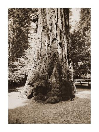 Big Tree Felton (Redwood), Santa Cruz, California, 1880s
