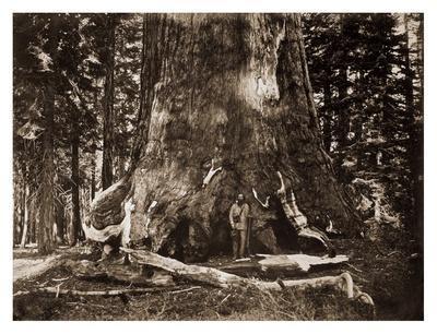 "The ""Grizzly Giant"" - 33 feet diameter - with Galen Clark, Mariposa Grove, Yosemite, California, 18"