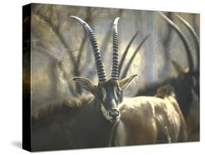 Giant Sable Antelopes, Probably on the Luanda Preserve by Carlo Bavagnoli