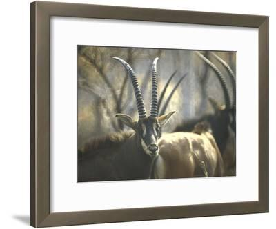 Giant Sable Antelopes, Probably on the Luanda Preserve