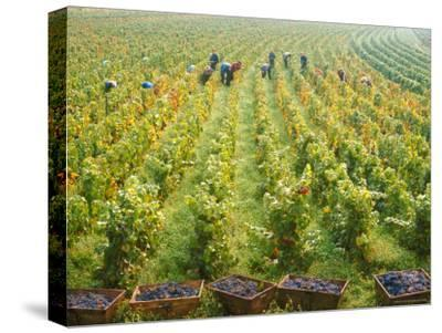 Overall View of French Vineyard During Harvest in Cote de Nuits Section of Burgundy