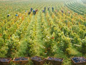 Overall View of French Vineyard During Harvest in Cote de Nuits Section of Burgundy by Carlo Bavagnoli