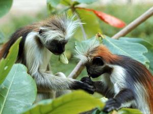Red Colubus Monkeys Sitting in Tree Sharing Food by Carlo Bavagnoli