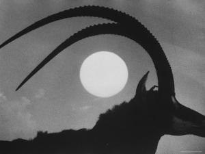 Silhouette of a Giant Sable Antelope Against the Setting Sun by Carlo Bavagnoli