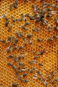 Carniolan honey bees, Santa Giustina, Belluno, Italy by Carlo Morucchio