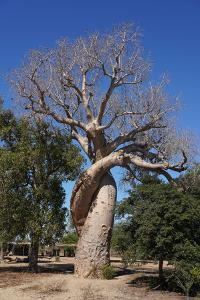 Lovers Baobab (Baobab Amoureux), Madagascar by Carlo Morucchio
