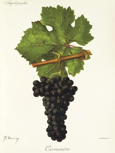 Carmenere Grape-J. Troncy-Giclee Print