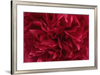 Carmine Red Peony Flower-Cora Niele-Framed Giclee Print