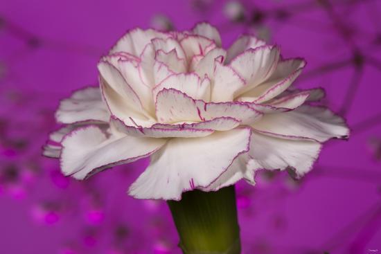 Carnation-Gordon Semmens-Photographic Print