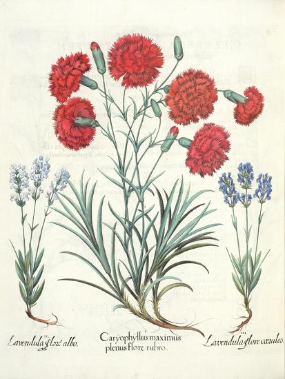 Carnations and Lavender from the 'Hortus Eystettensis' by Basil Besler--Giclee Print