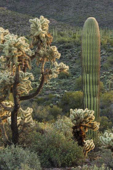 Carnegiea Gigantea, Saguaro Cacti, Hieroglyphic Trail, Lost Dutchman State Park, Arizona, Usa-Rainer Mirau-Photographic Print