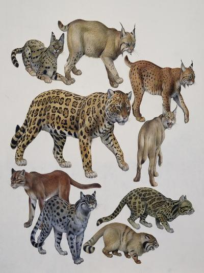 Carnivores Belonging to the Felidae Family--Giclee Print